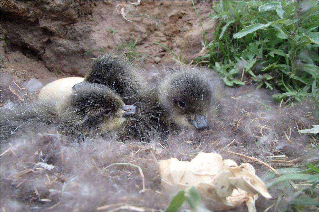 red-breasted geese chicks